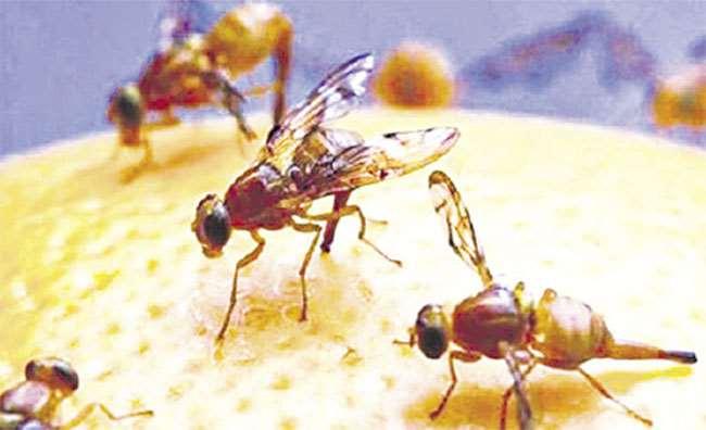 Insectos estériles, útiles al agro