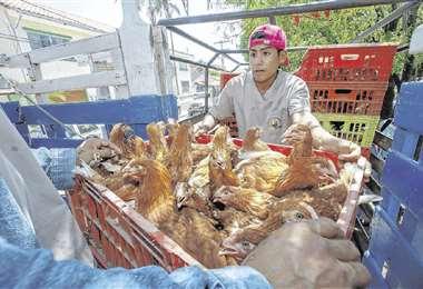 7.000 aves ponedoras fueron entregadas, de 50 ejemplares, a 120 familias del municipio de El Torno. Foto: GABRIEL VÁSQUEZ