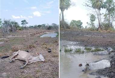 Algunos bovinos quedan atascados en las pozas en su intento de beber agua. Otros no resisten y mueren. Foto:  ASOCIACIONES GANADERAS