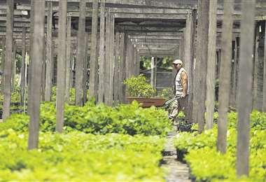 En los viveros se evidencia que los plantines están germinando. Beneficiarán a los municipios cruceños. Foto: Jorge Ibáñez