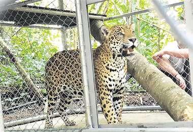 Hernán, el jaguar rescatado hace dos años, ya está en Senda Verde.  Foto: MINISTERIO DE MEDIO AMBIENTE