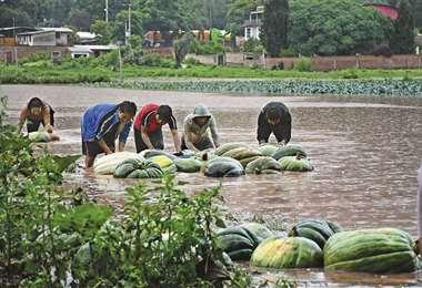 Agricultores de Vila Vila (Cochabamba) intentaban salvar de la riada su producción de zapallos. Foto: Los Tiempos