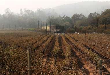 Parte de los viñedos arrasados por las llamas. Foto AFP