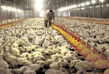 Avicultores alertan el cierre de granjas en el país