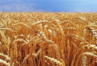 Brasil importa el 60% de trigo argentino para su consumo interno (Foto: Internet)