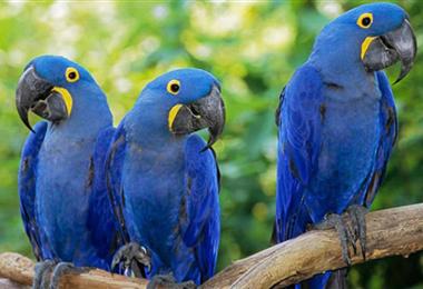 Paraba azul, que ha sido afectada por los incendios. Foto. Internet