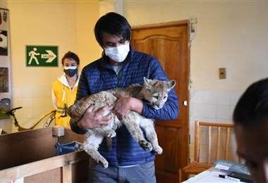 El felino rescatado en Cochabamba I AMN.