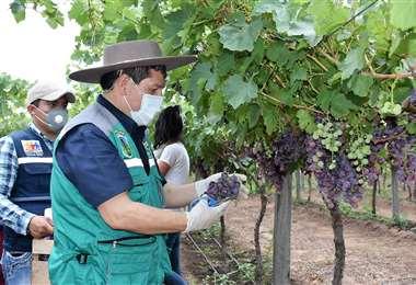 La cosecha se realizará siguiendo protocolos de bioseguridad/Foto: David Maygua