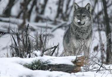 El lobo gris de EEUU. Foto Internet