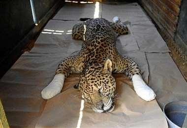 Uno de los felinos rescatados. Foto DA Press