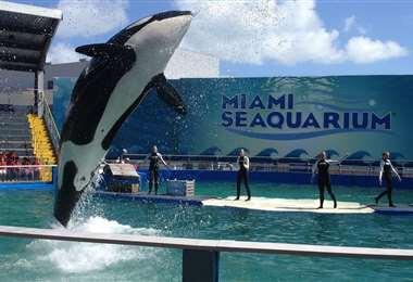 La orca Lolita en acción. Foto Internet