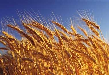 La oferta nacional de trigo es deficitaria (Foto: Internet)