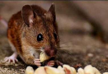 Se presume que el virus se transmite de roedores a humanos