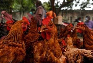 La gripe aviaria ha sido detectada en varias granjas holandesas desde octubre