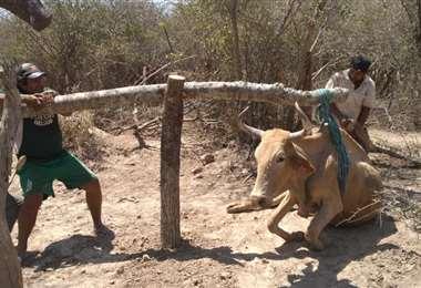 La debilidad del ganado es notoria por falta de agua y de forraje /Foto: EL DEBER