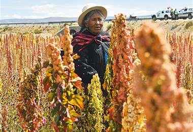 El cereal se cultivo en Altiplano Sur del país