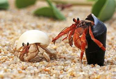 Dos cangrejos ermitaños. Foto Internet