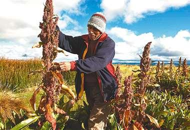 Los productores del Altiplano Sur, son los mayores productores/Foto: EL DEBER