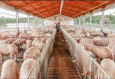 producccion de cerdo
