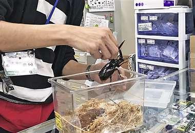 Los insectos bolivianos son llevados a Japónç