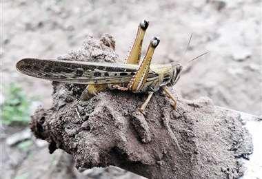 En poblaciones del Chaco boliviano hay alerta por la alta presencia de insectos en las áreas de producción. Foto: PROMASOR