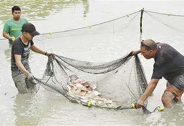 Trabajo. En la localidad de Yacuses, cuatro familias cuidan del calor y alimentan cada día a sus alevines de tambaquí