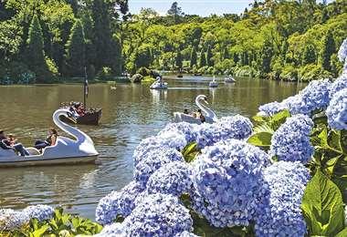 Hortensias y bosque. El Lago Negro es uno de los principales atractivos de Gramado. En sus orillas crece la flor típica, la hortensia. Foto: Internet