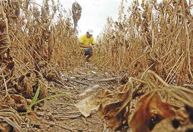 Los campos soyeros de los municipios de Pailón y de Cuatro Cañadas fueron castigados por la sequía. Foto: Jorge Gutiérrez