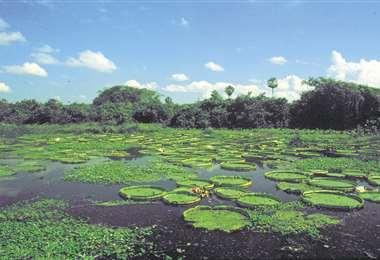 El tarope, una de las plantas acuáticas de la región amazónica que está amenazada