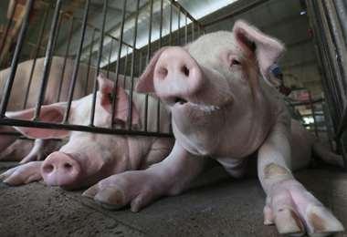 Hay más 50.000 animales que no han podido salir de las granjas/FOTO: Fuad Landivar