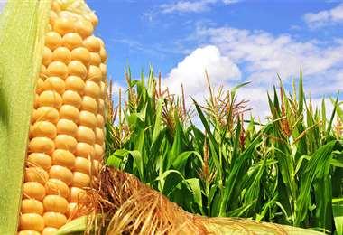 El maíz es parte del paquete que será analizado por el Gobierno. Foto referencial