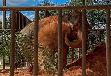 La elefanta Mara al llegar a Brasil. Foto AFP