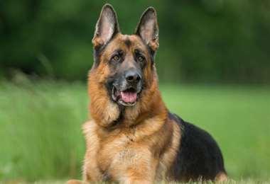 En el estudio participaron 15 perros de familias afectadas con Covid-19. Foto Internet