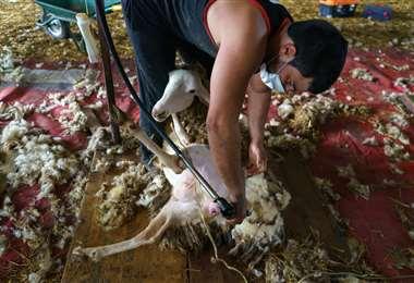 Uno de los uruguayos en plena faena. Foto AFP