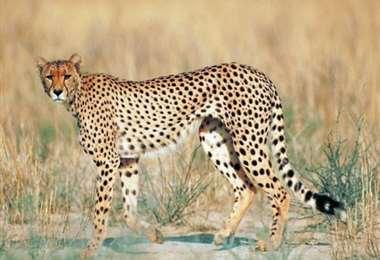Un ejemplar del guepardo del Sahara. Foto Internet