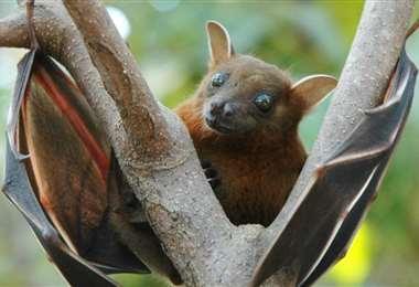 Una enfermedad bacteriana vinculada a los murciélagos