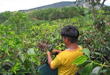 Una cosecha a pocas manos, la pandemia alcanza al café de Colombia