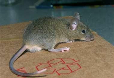 Foto: Control de Ratas