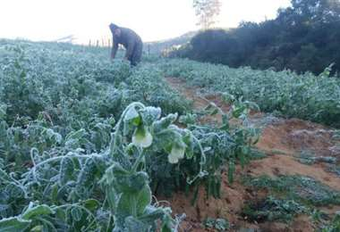 La helada dejó sus efectos en sembradríos de la zona de Postrervalle /Foto: Juan Carlos Aguilar