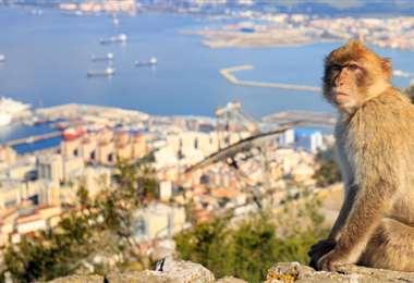 Tocar a los macacos del peñón de Gibraltar será delito