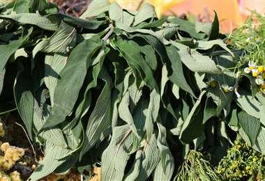 El eucalipto se vende el amarro a Bs 5
