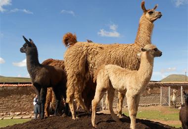 La llama es uno de los animales más apreciados en el altiplano boliviano. Foto. Internet