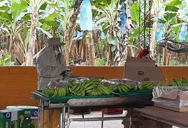 El bananero es uno de los sectores más afectados por la pandemia