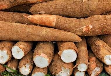 La yuca es una raíz muy utilizada en la gastronomía del oriente boliviano