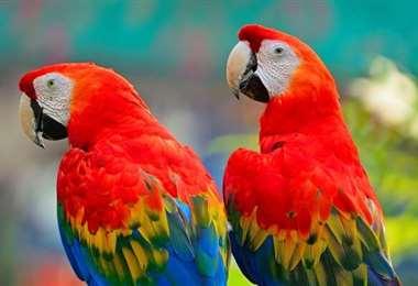Un par de gaucamayos rojos. Foto Internet