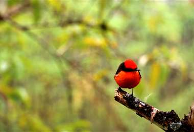 El pájaro brujo de las Galápagos. Foto AFP
