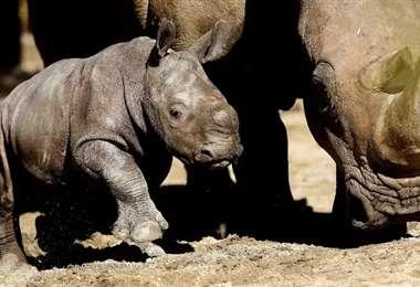 Atanasio junto a su mamá Hannah en el zoológico chileno. Foto La Tercera