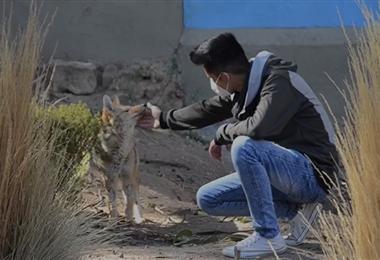 El zorro 'Antonio' se reencontró con Brayan Ajhuacho, el orureño que lo crió. Foto. Ministerio de Medio Ambiente