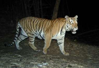 Un tigre en una remota región del oeste de Tailandia. Foto AFP