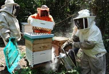 La cosecha de miel es una actividad familiar que requiere la participación de tres a cinco personas (Foto: Adapicruz)